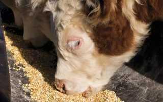 Сколько комбикорма надо давать корове в сутки