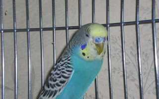 Как лечить клеща у попугая