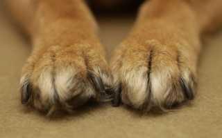 Как лечить грибок у собак
